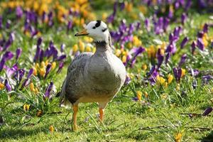 bar-head goose / anser indicus foto