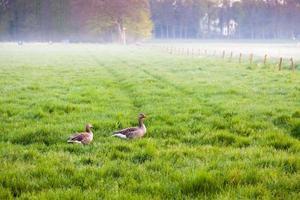 Wiese mit grasenden Gänsen im Nebel bei Sonnenuntergang. Holland.