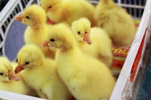 Gänschen neugeborenes Gelb ist eine Gruppe foto