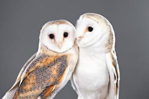 Schleiereulenpaar foto