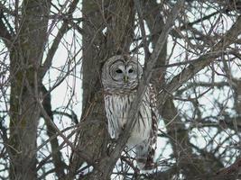 Barred Owl foto