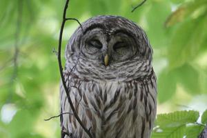 Barred Owl blinkt, Quebec, Kanada foto