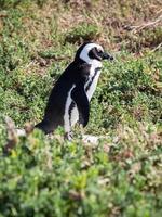 Pinguin foto