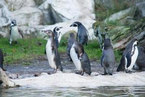 Pinguine auf den Felsen foto