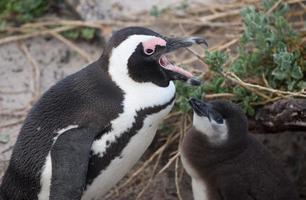 Erwachsener und Baby afrikanischer Pinguin foto
