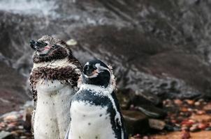 zwei Humboldt-Pinguine, die sich nach dem Schwimmen abtrocknen foto