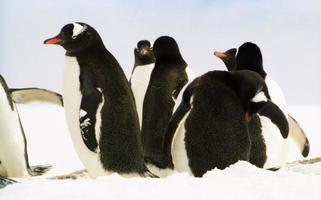 Eselspinguinkolonie auf der antarktischen Halbinsel foto