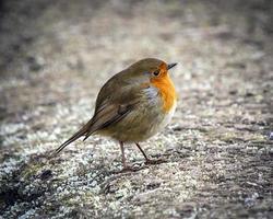 Robin foto
