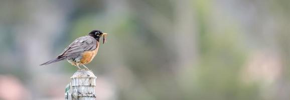 Amerikanisches Rotkehlchen mit Wurm foto