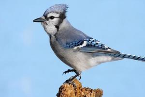 Blue Jay (Corvid Cyanocitta) thront auf einem Baumstumpf foto