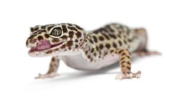 Leopardgecko, Eublepharis macularius, vor weißem Hintergrund