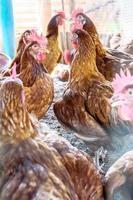 Hühner auf dem Bauernhof foto