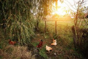 Hühner auf Bio-Bauernhof foto