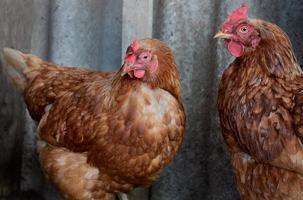 Hühner auf grauem Hintergrund foto