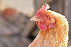 Kopf der braunen Henne foto