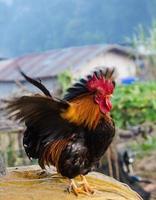 Hühner foto