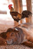 schwarzes Schwein und Schwanz foto