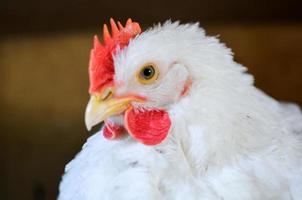 weiße Henne foto