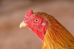 männlicher Hühnerkopf foto