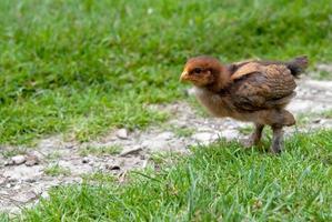 kleines Huhn