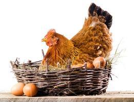 Huhn mit Eiern isoliert auf Weiß foto