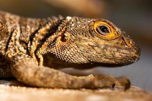 Merrems Madagaskar schnell (Oplurus Cyclurus) foto
