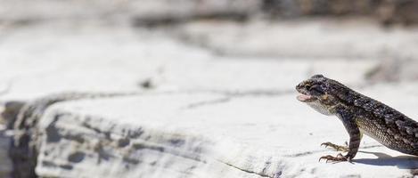 Eidechse mit offenem Mund in der Wüste foto