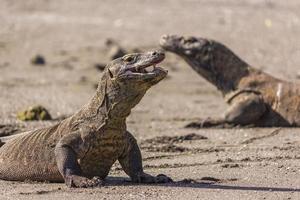 Komodo Drangons foto