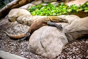 Komododrache in natürlicher Umgebung, der auf einem Felsen sitzt