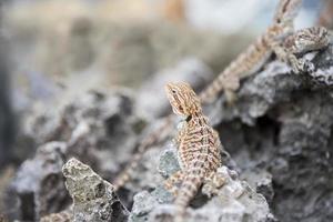 Bartagame Agama Eidechse auf Stein foto
