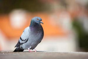 Taube auf dem Dach foto