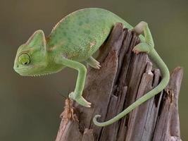 Chamäleon mit Blick auf Cricket foto