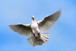 Taube fliegt in den Himmel. foto