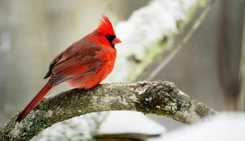 roter Kardinal sitzt auf einem Ast im Schnee.