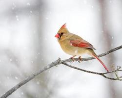weiblicher Kardinal im Schnee