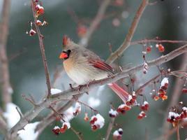 weiblicher Kardinal im Schneesturm