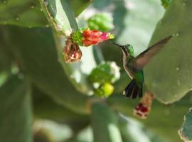 smaragdgrüner Kolibri foto