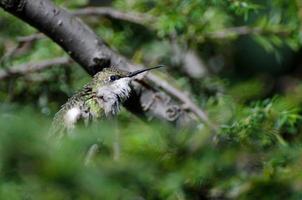 gekräuselter Kolibri auf der Suche nach Ärger foto