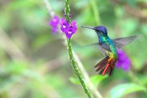 wunderbarer Kolibri im Flug, Goldschwanzsaphir, Peru foto