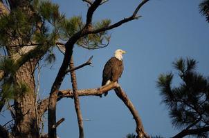 kühner Adler