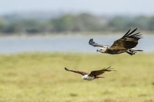 Weißbauch-Seeadler, der von Drachen in Sri Lanka angegriffen wird