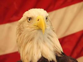 Weißkopfseeadler mit amerikanischem Flaggenhintergrund foto