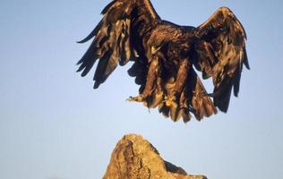 Vogel-Steinadler im Flug foto