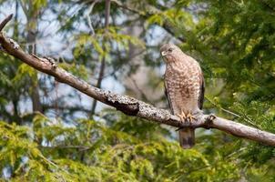 breitflügeliger Falke foto