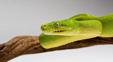 grüne Baumpython foto
