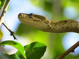 afrikanische Python foto
