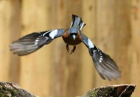 fliegender Buchfink foto