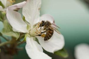 fliegende Honigbiene foto