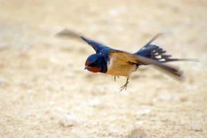Schwalbenschwanz fliegt, verschwommene Bewegung
