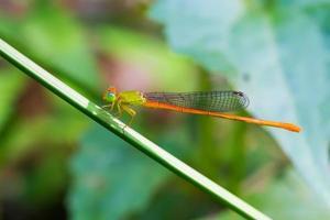 Porträt der Libelle - Orangenschwanzsprite foto